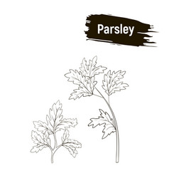 Outline drawing parsley vector