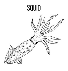 seafood collection squid sketch vector image