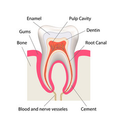 detailed human tooth anatomy infographic chart vector image