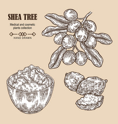 Shea tree branch nuts and shea butter in sketch vector