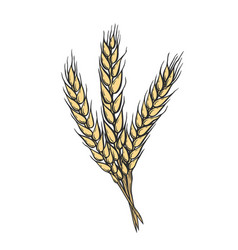 Yellow wheat bread ears vector