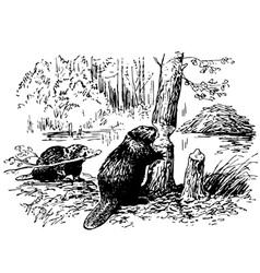 Eurasian beaver vector
