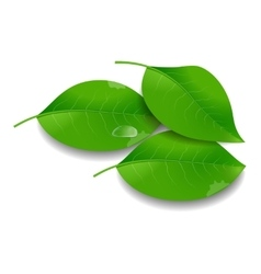 Green Leaves with Water Drop vector