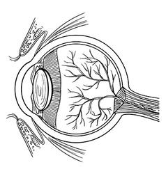 Human eyeball vector image