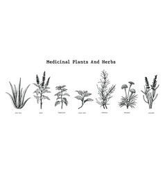 medicinal plants and herbs hand drawing vintage vector image