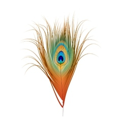 Peacock Feather Isolated on White vector image