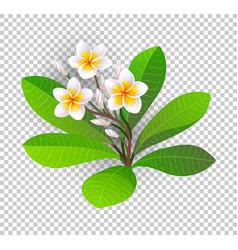 blooming plumeria vector image