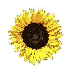 Sunflower on a white background isolated vector