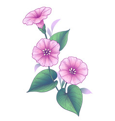hand drawn pink bindweed flower with leaves vector image