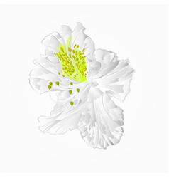 blossoms white rhododendron seventh mountain vector image
