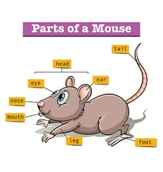 Different parts of small mouse vector image
