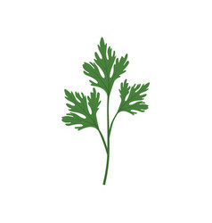 Fresh green parsley leaf vegetarian healthy food vector