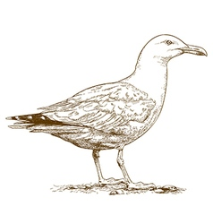 engraving seagull vector image