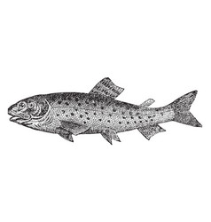 Brook trout vintage vector