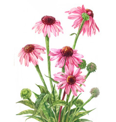 echinacea watercolor botanical on white vector image