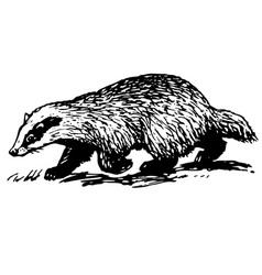 european badger vector image