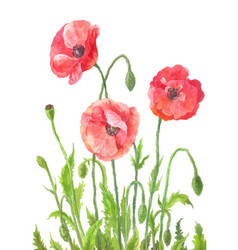 Three garden poppies in watercolor composition of vector