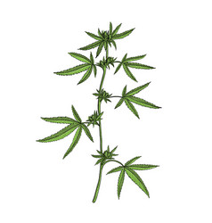 drawing cannabis plant vector image