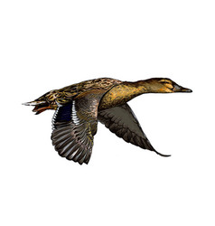 duck from a splash watercolor colored drawing vector image