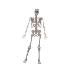 grey skeleton standing on one leg human anatomy vector image