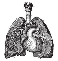 Relative position of the heart and lungs vintage vector