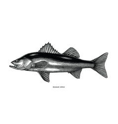 seabass hand draw vintage clip art isolated on vector image