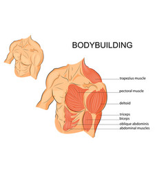 Male body arms shoulders chest and abs vector