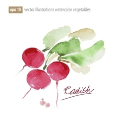 Red radish Watercolor vector