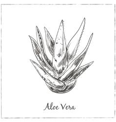 Aloe vera hand drawn vector
