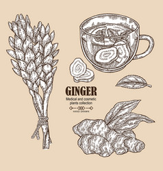 Ginger plant set hand drawn ginger root flowers vector