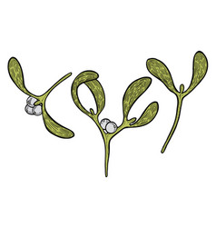 hand drawn mistletoe plant vector image