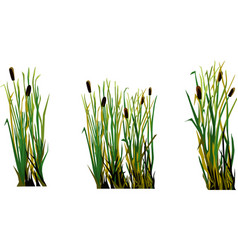 Marsh grass cane isolated element white background vector