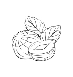 Hand drawn hazelnut sketches vector image