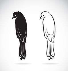 Drongo Bird vector image vector image