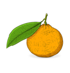 Mandarin orange with leaf hand drawn colored vector