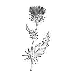 Drawing milk thistle vector