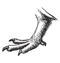Moorfowl claw vintage vector