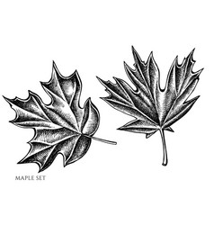 set hand drawn black and white maple vector image