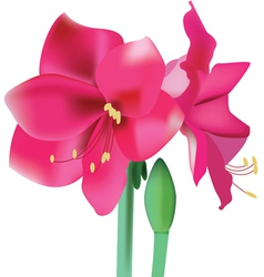 Flower amaryllis vector