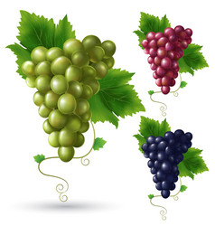 realistic grape set vector image