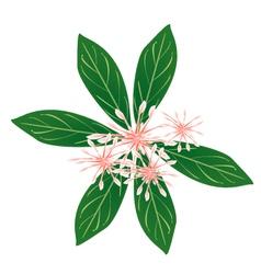 Fresh Rauvolfia Serpentina Blossoms on White vector image