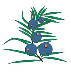 Juniper berries brunch vector