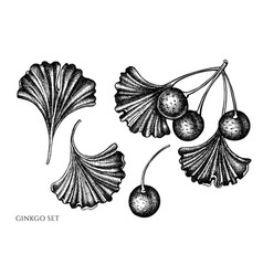set hand drawn black and white ginkgo vector image