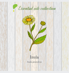 inula essential oil label aromatic plant vector image