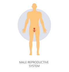 Male reproductive system isolated man anatomy vector