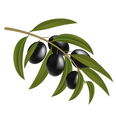 Black olives on branch vector image