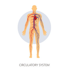 Circulatory system isolated human anatomy veins vector