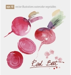 red beet set watercolor vector image