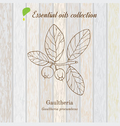 Gaultheria essential oil label aromatic plant vector