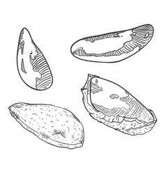 sketch set brazilian nuts vector image